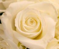 Rose blanche Image libre de droits