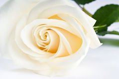 Rose blanche photographie stock