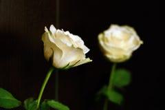 Rose blanche avec la réflexion sur un fond de Wenge images stock