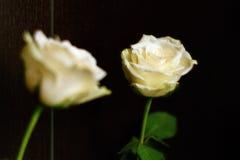 Rose blanche avec la réflexion sur un fond de Wenge Photos stock