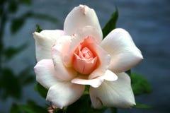 Rose blanche avec le centre rose Images libres de droits