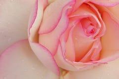 Rose blanche avec les frontières roses Image stock
