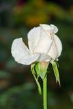 Rose blanche avec les insectes verts minuscules Photographie stock