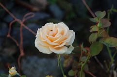 Rose blanche avec sa mouche royalty free stock image