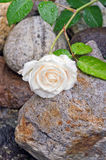 Rose blanche crème avec des gouttelettes d'eau Image stock