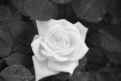 Rose blanche dans les baisses de la rosée sur un fond de feuillage foncé Images stock