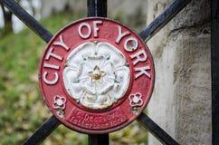 Rose blanche de York Photos libres de droits