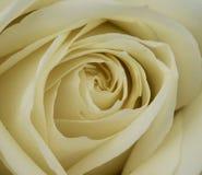 Rose blanche en plan rapproché, Rosa rosa photos stock