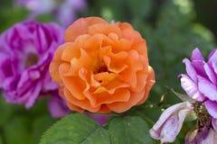 Rose blanche et fleurs jaunes rouge-rose colorées image libre de droits