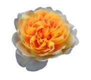 Rose blanche et orange pâle simple sur un fond blanc photographie stock libre de droits
