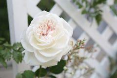 Rose blanche et séparation blanche de trellis image libre de droits