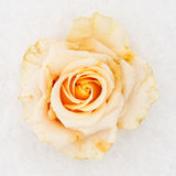Rose blanche figée Image stock