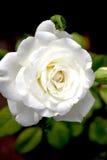 Rose blanche parfaite Images libres de droits