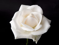 Rose blanche simple photos libres de droits