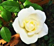 Rose blanche simple dans un jardin images stock