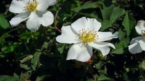 Rose blanche sur une branche avec des feuilles et des épines Image libre de droits