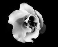 Rose blanco y negro Imagen de archivo
