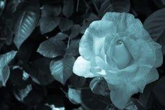 Rose blanco y negro Imágenes de archivo libres de regalías