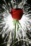 rose blask Zdjęcie Stock