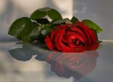 rose blednąć Obraz Stock