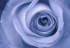 Rose bleue Photo libre de droits