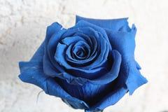 Rose bleue Photos libres de droits