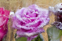 Rose  a block freezes. Rose flower in a block freezes Stock Images