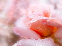 Rose blomma. arkivfoton