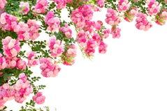 Rose blommor som isoleras på vit bakgrund Arkivbild