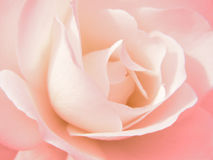 Rose Bloom. Close up of a pink rose bloom Royalty Free Stock Images