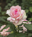 Rose in bloom. As a symbol of beauty and love roses for a long time. Rose in Greek mythology is created Zeus's masterpiece, is used to gloat over the gods Stock Images