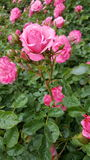 Rose In Bloom. Rose bush covered with pink flowers, focus on single rose and surrounding rosebuds stock photo