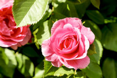 Rose in Bloom Closeup Outdoors Royalty Free Stock Photos