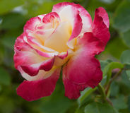 Red and cream rose blossom Stock Images