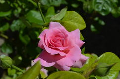 Rose bloom in the garden close-up photo Royalty Free Stock Photography