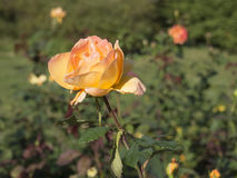 Rose in bloom in a garden Royalty Free Stock Photo