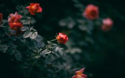 Rose, Bloom, Green, Leaf, Flower Royalty Free Stock Photography