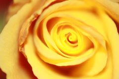 Rose Bloom/Rose Blossom/guling Royaltyfri Fotografi