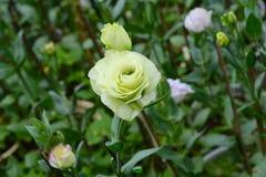 Rose Blooming bianca Immagine Stock