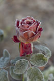 Rose blooming in frost in  garden Stock Image