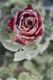 Rose blooming in frost in  garden Stock Images