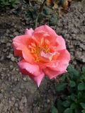 Rose Blooming orange dans le jardin photo stock