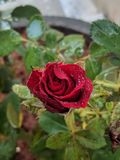 Rose. Blooming, red, colour, garden stock image