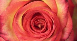Rose Blooming roja y amarilla