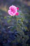 Rose Blooming rosa in giardino Fotografie Stock Libere da Diritti