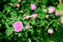 Rose Blooming rosada Fotografía de archivo