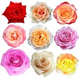 The rose blooms Royalty Free Stock Photography