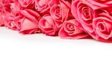 Rose blooms Stock Image