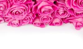 Rose blooms Royalty Free Stock Photos