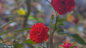 Rose Blooms roja macra en jardín contra siluetas que oscilan